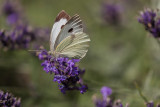 Large Cabbage White