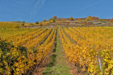October Vineyard