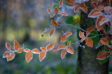 Frosty Beech Leaves