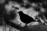 Black Bird Shadow
