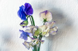 The first sweet peas from the garden