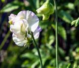 Sweet pea in the garden