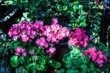 Geraniums in the garden