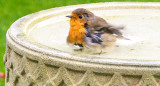 Robin thinking of having a bath.