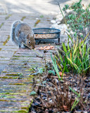 Squirel having some lunch in the garden.