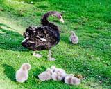 Mum and chicks