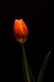 Tulip #2