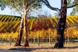 Autumn Vines Adelaide Hills