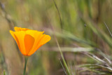 California Poppy (Eschscholzia californica) and insect