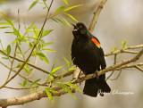 Carouge à Épaulettes ( Red - winged Blackbird )