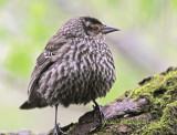 Carouge à Épaulettes ( Red - winged Blackbird ) Female  Full- Frame