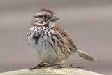 Bruant chanteur / Song Sparrow Full- Frame