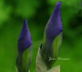 Iris pseudacorus / iris des marais
