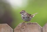Bruant chanteur / Song Sparrow  ( Female