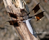Plathemis Libellule / dragonfly