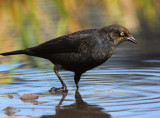 Quiscale Rouilleux ( Rusty Blackbird / Full-frame