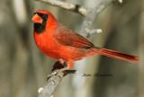 Cardinal rouge Northern Cardinal / Cardinalis cardinalis
