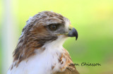 Buse a queue rouse/ Red - tailed Hawk