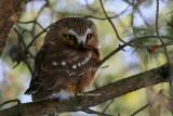 Nyctale de Tengmalm ( Boreal Owl )