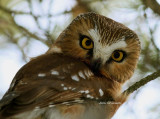 Petite Nyctale - 18 - 22 cm / Northern saw-whet owl
