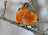 While walking in forest, this the first time I've saw an American Robin with this extreme cold  -30°C