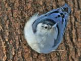 Sittelle a poitrine Blanche ( White-breaste