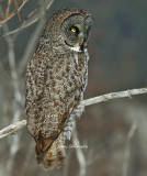 Chouette Lapone - Great Grey Owl - The most beautiful eyes among birds of prey