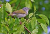 Paruline Obscure / Tenessee Warbler