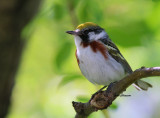 Paruline à Francs Marron / Chesnut- sided Warbler