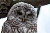 Chouette Rayée  (Barred Owl )  Full-frame )