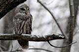 Chouette Rayée  (Barred Owl )