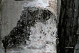Cheval des bois