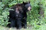 L'ours noir (Ursus americanus) black bear
