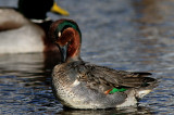 Sarcelle D'hiver ( Green - winged Teal )