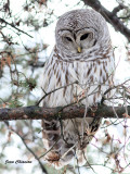Chouette Rayée (Barred Owl