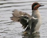 Canard (Duck)