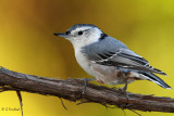 Nuthatch At 700mm/ Full Frame