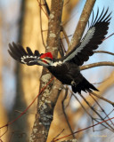 All The Markings Of A Pileated Woodpecker