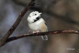 White Capped Chickadee