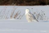 Winter's Owl
