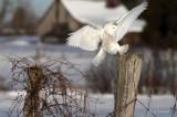 Snowy'ng At The Farm
