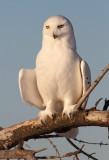 Grandfather Snowy  Owl