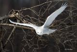 MMSOIF /  Mature Male Snowy Owl In Flight