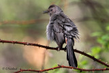 Grey Catbird (m)