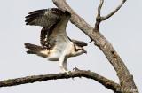 Another Juvenile Osprey