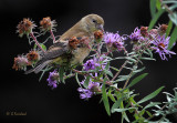 Goldfinch In The Aster