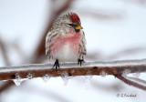 Freezing Rain Redpoll