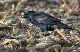 Raven-ous