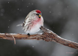 A Leg Up On The Common Redpoll