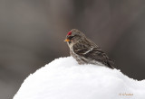 Redpoll On Top